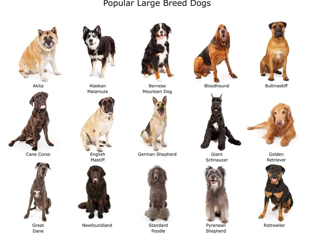A breed guide to big dogs