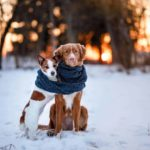 A pair of dogs snuggle together on snowy field. Dog cold weather guide