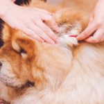 Owner cleans chow chow's ears. Dog ear cleaning guide