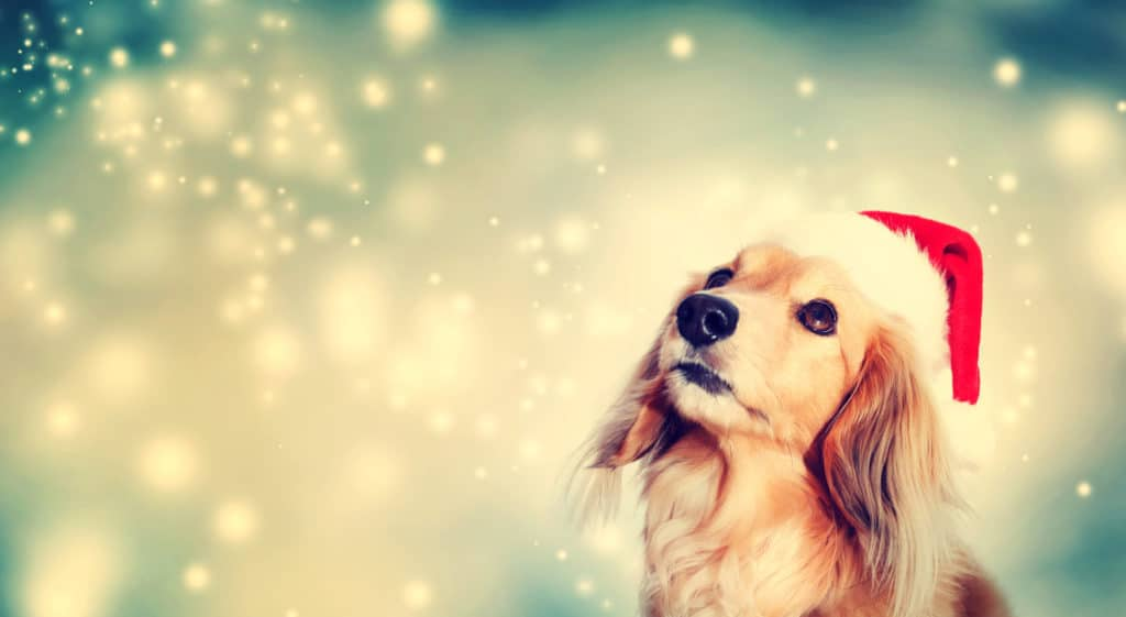 Dog wears a Santa hat on a starry night. To ensure a happy celebration, protect your pup from dog holiday dangers.