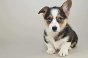 Consider your temperament and finances when considering adopting a dog like this corgi puppy.