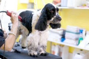 English Springer Spaniel gets its hair trimmed. Dog winter coat maintenance tips suggest keeping your dog's hair trimmed short on his feet and the back of his legs during winter.