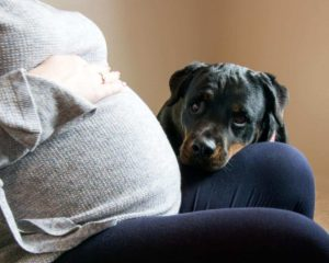 Major life changes: Prepare your dog for the arrival of a new baby. Rottweiler snuggles with pregnant owner.