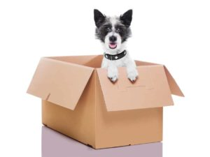 Puppy in moving box. Moving with your pet involves keeping your dog safe and comfortable and understanding their behavior may change as they struggle with the move.
