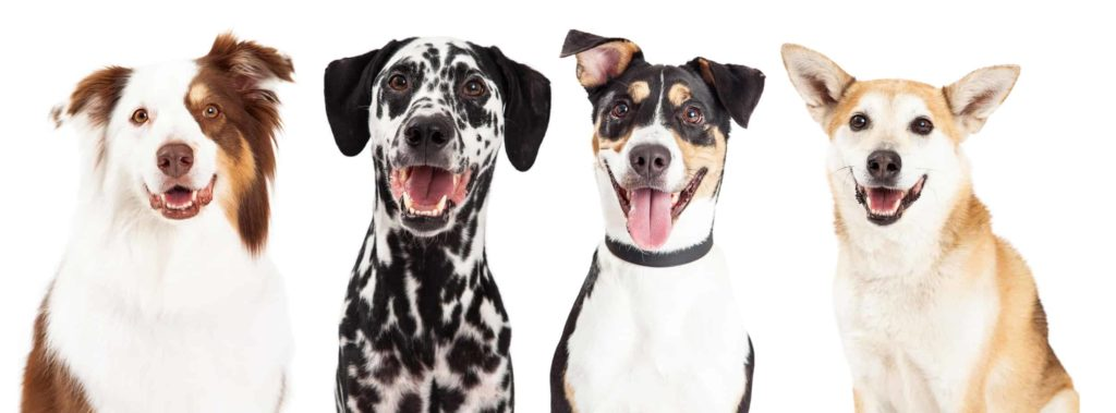Australian shepherd, Dalmatian, mixed breed and terrier. CBD oil provides health benefits for dogs.