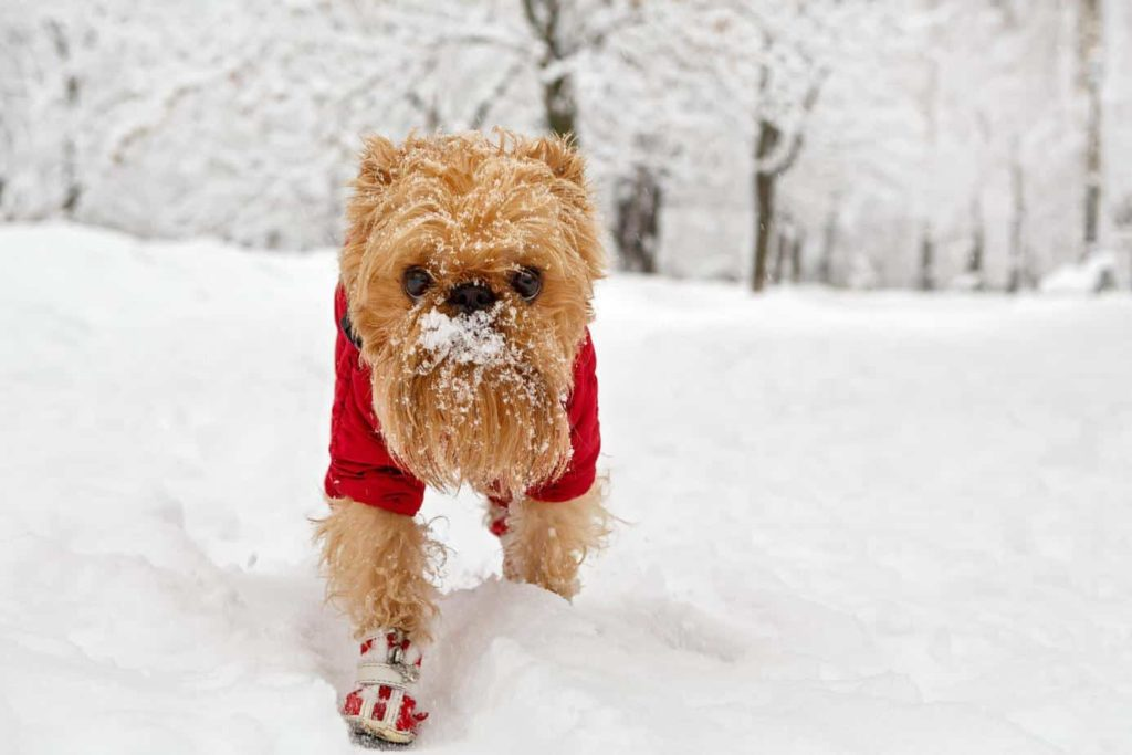 dog fashion: Brussels griffon wears coat and boots to ward off the cold.