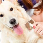 Dog hygiene: Woman brushes her golden doodle.