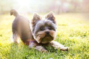 Yorkshire terrier ready to play. Common Yorkshire terrier health problems: Bad knees, skin allergies, retinal dysplasia, collapsed tracheas and more.