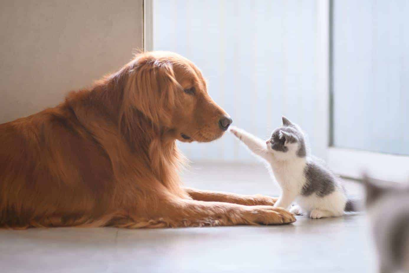 Golden retriever meets kitten. Train dog and cat to live peacefully together.