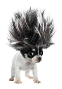 clean up dog hair: chihuahua with crazy hair