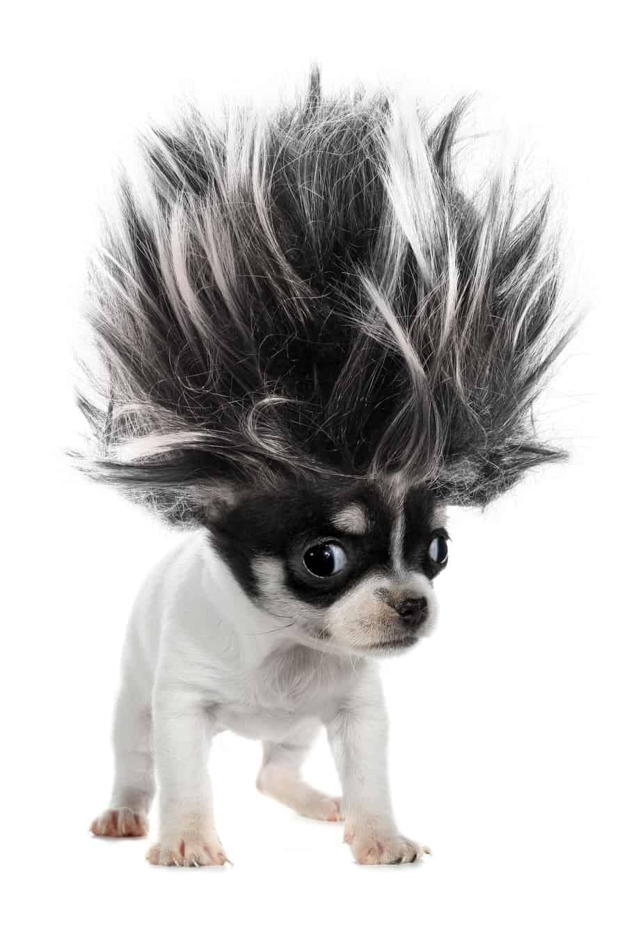 chihuahua with crazy hair. Use a pet hair vacuum to control dog hair.