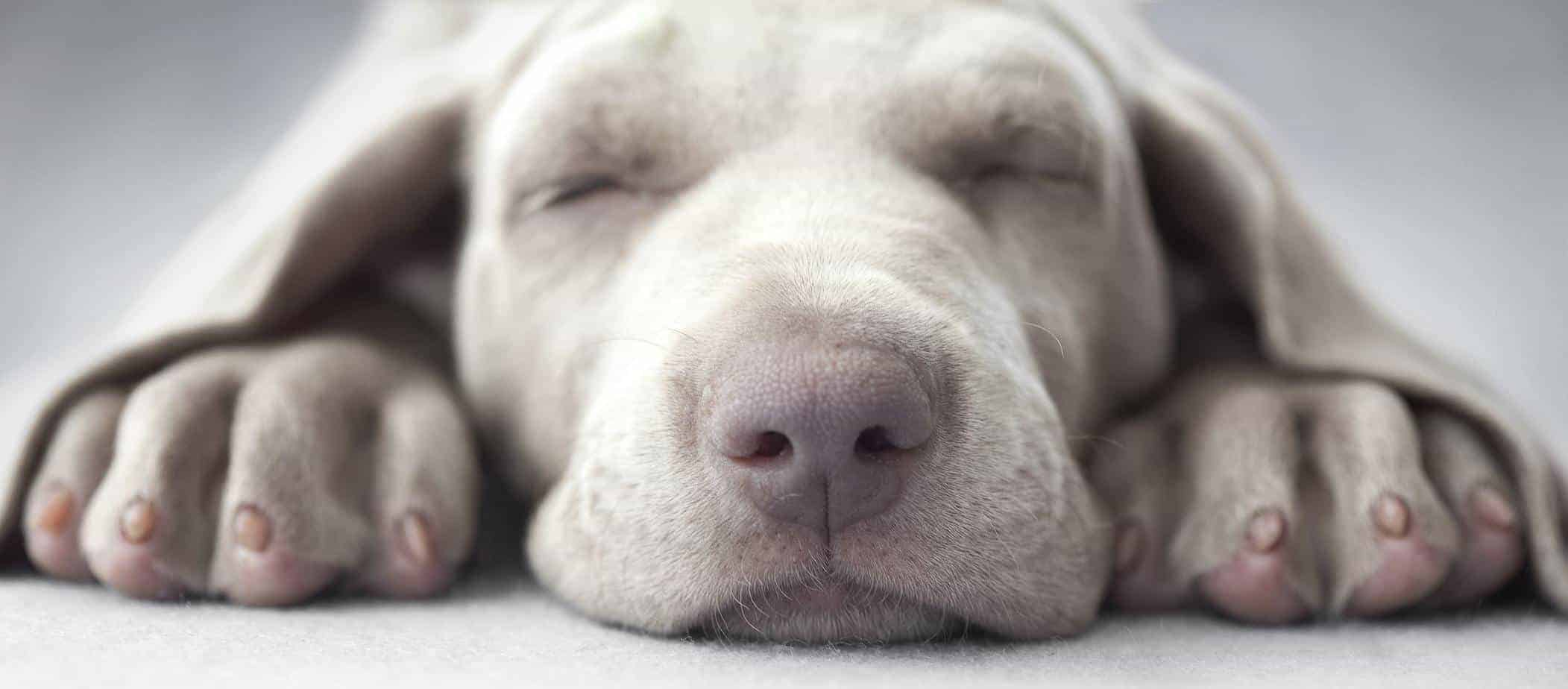 Dog sleep behavior: Most dogs adjust to be awake when you are
