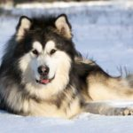 The Alaskan Malamute requires an experienced dog owner who lives in a relatively cold environment  and has a large yard where the dog can run and play.