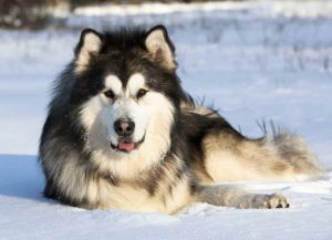 Alaskan Malamutes are often confused for Alaskan or Siberian Huskies