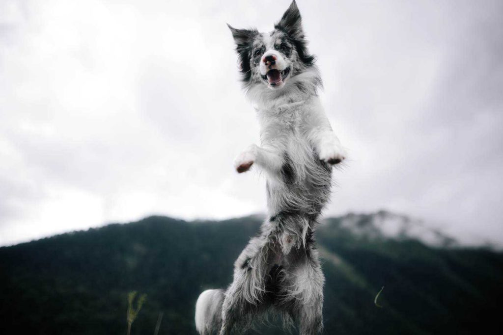 Border collie jumps. Dogs with canine ADHD are hyperactive with extremely short attention spans.