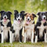 Border collie group shows coloring options: black and white, red and white or black.