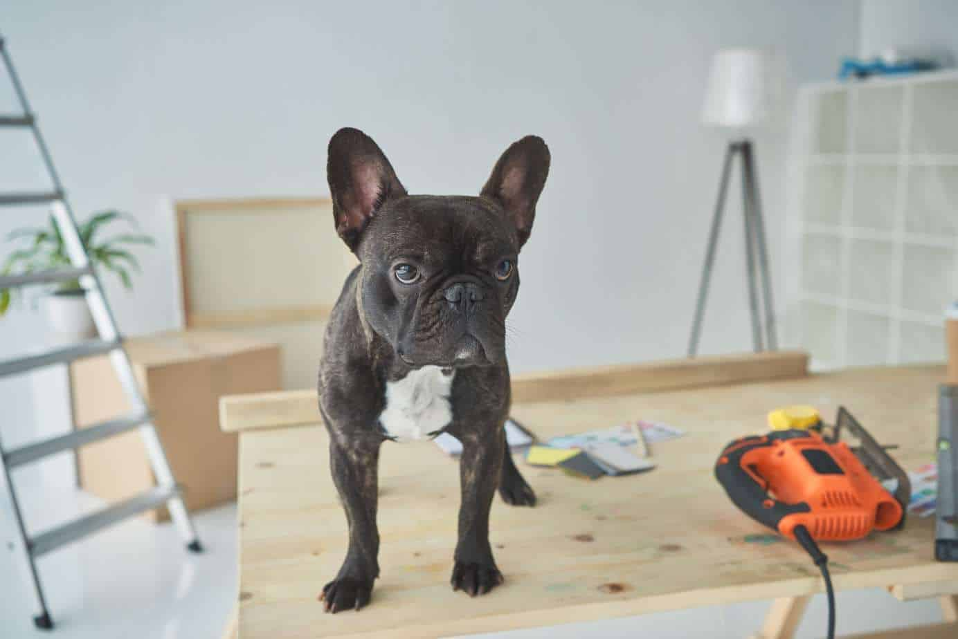 French Bulldog stands on table with power tools during dog-friendly renovations.