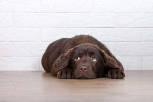 Fearful chocolate lab puppy shows dog stress warning signs.