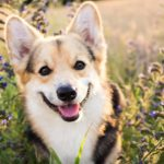 Happy corgi in flowers Dogs and marijuana: Keep marijuana, CBD oil, and products that contain them out of reach to prevent accidental consumption.