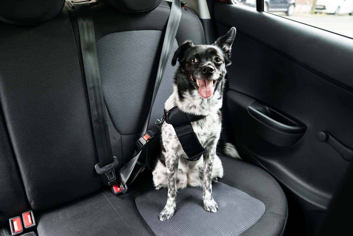 Border collie wears safety harness. When driving with your dog, keep your pup safely restrained.