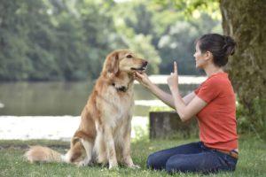 Woman uses essential dog commands to train golden retriever.