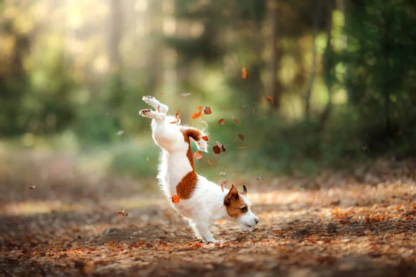 Jack Russell terrier plays in leaves