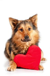 German shepherd poses with Valentine. Follow Valentine's day dog safety tips to protect your dog.