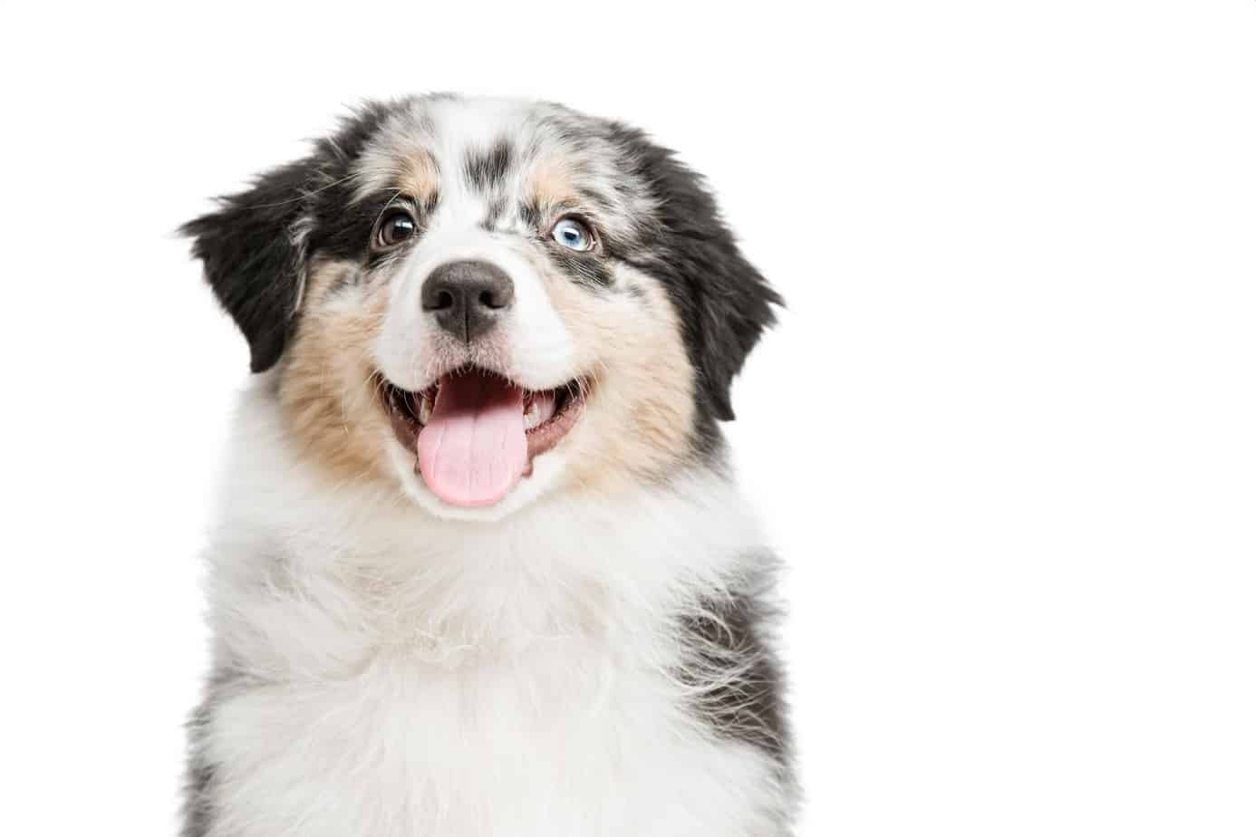 Australian shepherd puppy. Watch for vet warning signs: skipping meals, vomiting, lethargy, excessive thirst, and dry, rough coat.