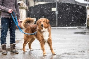 Winter dog-walking safety tips: Woman walks dog on leash on street