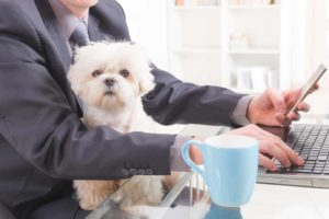 business man at work with small dog on his lap. Your dog is the secret to your success by boosting your confidence, reducing stress, and generally supporting your well-being.