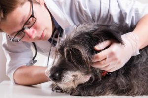 Vet examines sick dog. CBD oil fights dog cancer by reducing inflammation, boosting appetite, and alleviating depression.