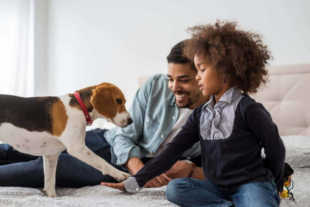 Man and daughter play with pet beagle. CBD oil helps dogs relax and bond with new people.