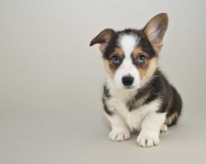 corgi puppy. Corgis rank high on lists of most popular dog breeds.