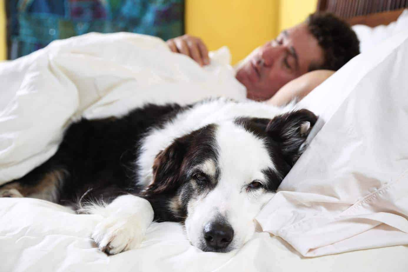Border collie snuggles next to sleeping man. Entertain your dog: Try interactive games, automatic ball launchers, hide and seek, or use a dog walker when you are feeling ill.