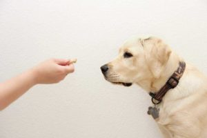 Use treats to train a Labrador retriever. Follow tips from a beginner's guide to dog training.