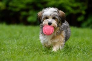 Havanese puppy plays with a ball. Pet spending continues to rise as Americans spend billions on food, vet care and supplies including dog toys.