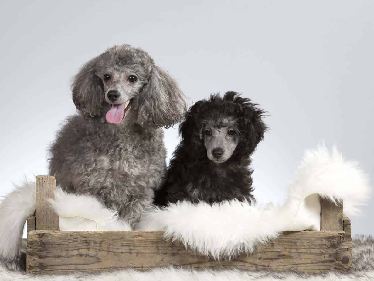 Gray and black poodles in a box. Poodles rank high on lists of popular dog breeds.