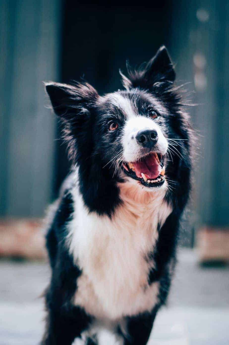 Happy border collie. Happy dogs can reduce their owners' stress and that's one of the reasons to adopt a dog.