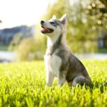 The Alaskan Klee Kai is a beautiful and intelligent dog. They may be small, but the Klee Kai have big personalities.