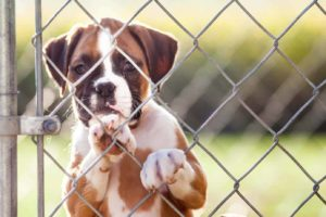Boxer serves as a guard dog. When getting a guard dog choose the right breed like a boxer.