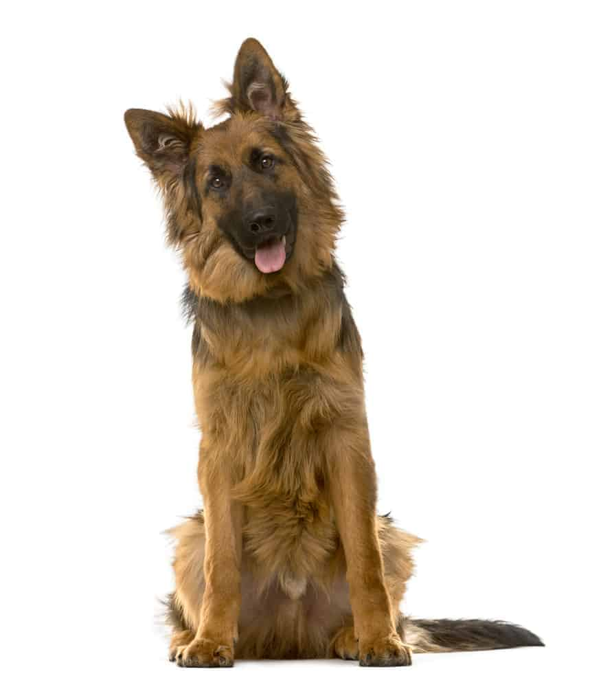 The German Shepherd Dog is smart and loyal.