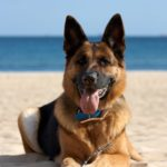 The German Shepherd is a