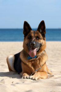 The German Shepherd is a high prey, high biddable dogs.
