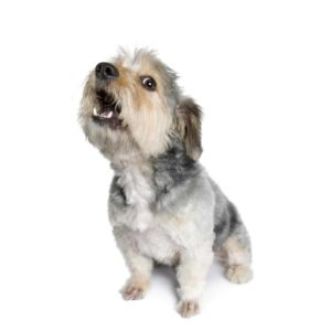 Small terrier barking. Use training and treats to break your dog's non-stop barking habit.