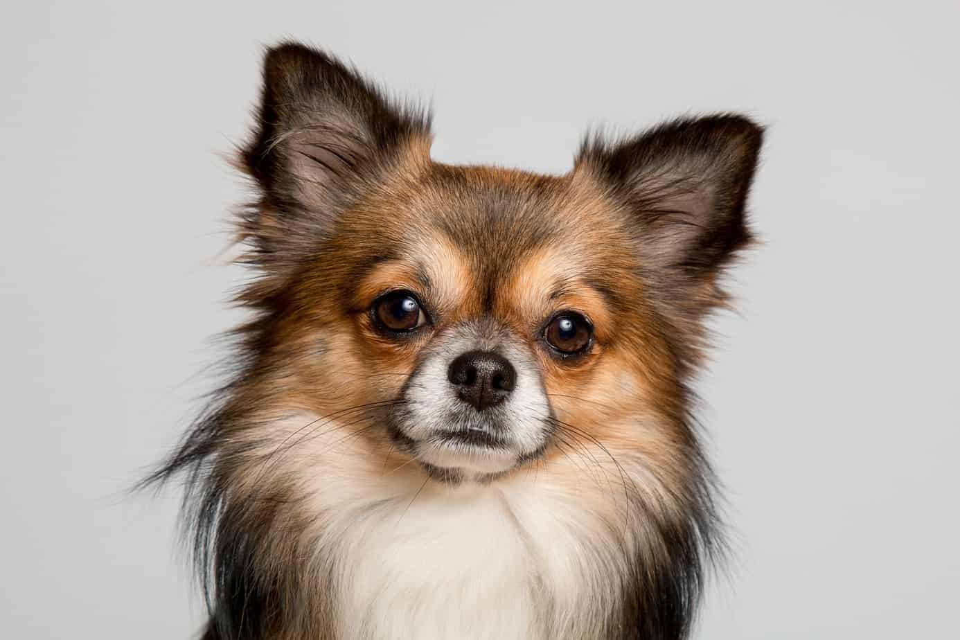 The long-haired apple head Chihuahua is more common and has fluffier fur like a stuffed toy.