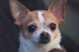 The short-haired deer head Chihuahua has the same body structure but a thinner and shinier coat.