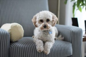 dog rests on couch. Wet dog is groomed. Reduce dog grooming stress by preparing your dog, staying calm, rewarding your dog, and tiring your dog out before you go.