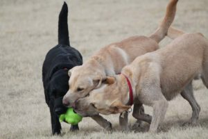 Three Labradors play at a dog park. Avoid dog socialization mistakes by letting your dog play with dogs of similar size and temperament.
