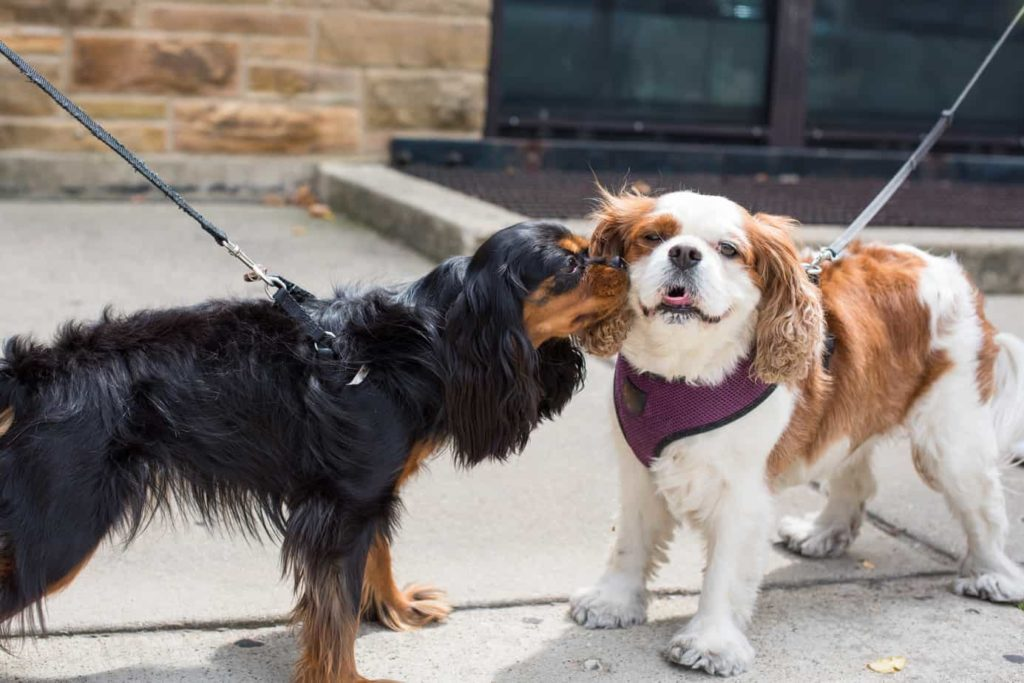 Black and tan cocker spaniel kisses white and tan cocker spaniel. Canine STD: Recognize canine STD symptoms, treatment options, prevention tactics, and prognosis. The infections are especially dangerous for puppies.