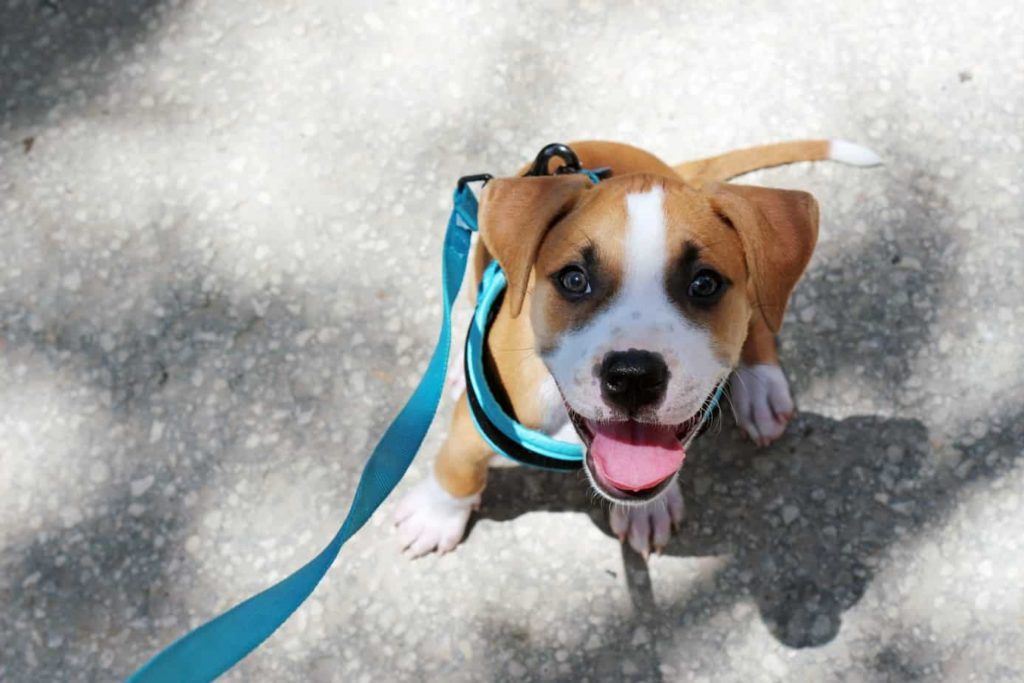 Boxer puppy looks at owner during dog walk. Work with your dog to get his focus during dog walks.
